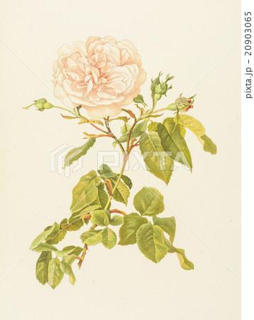 """アンティークイラスト「バラ」Alfred Parsons""""The Genus Rosa"""",1914のイラスト素材 [20903065] - PIXTA"""