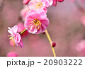 ピンク色のシダレ梅のクローズアップ 20903222