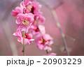 ピンク色のシダレ梅のクローズアップ 20903229