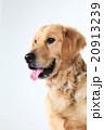 犬のゴールデンレトリーバー 20913239