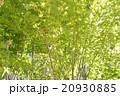 青楓 20930885