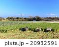 冬晴れの畑  20932591