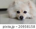 わんこ 犬 ホワイトの写真 20938158