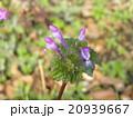 ホトケノザ 花 野草の写真 20939667