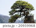 盆栽 赤松 20939968