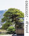 盆栽 赤松 20939969