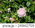 ピンク色のバラ 20942759