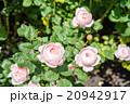 ピンク色のバラ 20942917