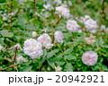 ピンク色のバラ 20942921