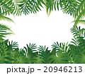 椰子の木 20946213