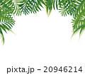 椰子の木 20946214