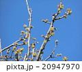 黄緑色の若葉が育つカリンの木 20947970