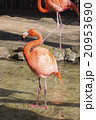 フラミンゴ 20953690