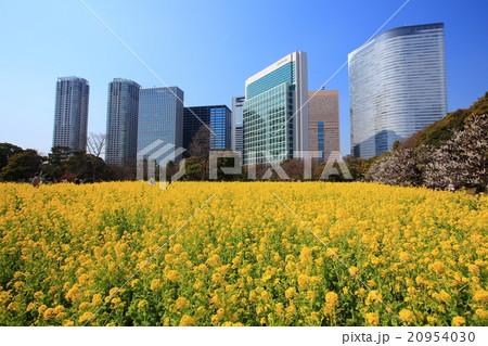浜離宮恩賜庭園の菜の花畑 20954030