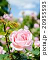 ピンク色のバラ一輪 20955593