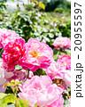 赤紫とピンク色のバラ 20955597