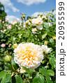 黄色のバラ 20955599