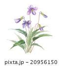 菫 花 植物のイラスト 20956150