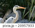 鳥 サギ科 蒼鷺の写真 20957933