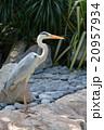 鳥 サギ科 蒼鷺の写真 20957934