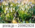 フラワー 花 グリーンの写真 20962928