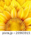 クローズアップ 黄色い 黄のイラスト 20963915