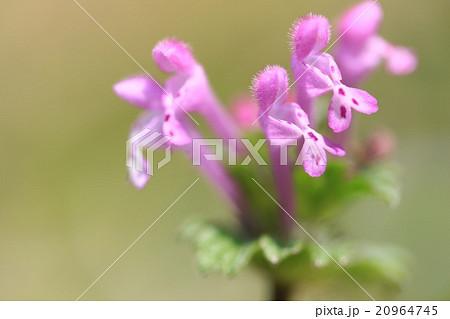 ピンクのハートが可愛いホトケノザ 20964745
