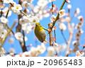 梅の花とメジロ(N) 20965483