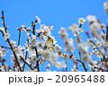 梅の花とメジロ(N) 20965488