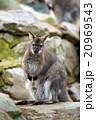 ワラビー 動物 哺乳類の写真 20969543