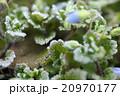 オオイヌノフグリと霜 20970177