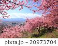 河津桜 桜 花の写真 20973704