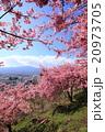 河津桜 桜 花の写真 20973705