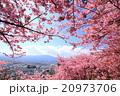 河津桜 桜 花の写真 20973706
