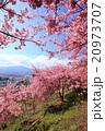 河津桜 桜 花の写真 20973707