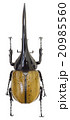 ヘラクレス オオカブト カブトムシの写真 20985560