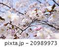 桜を見上げる 20989973