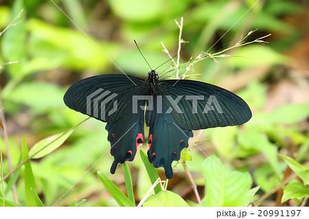 生き物 昆虫 クロアゲハ、『沖縄、八重山亜種』のオスです。石垣島にいました 20991197