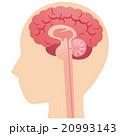 脳 脳みそ 断面図のイラスト 20993143