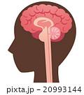 脳 脳みそ 断面図のイラスト 20993144