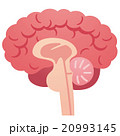 脳 脳みそ 断面図のイラスト 20993145