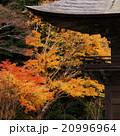 紅葉 モミジ 尊永寺の写真 20996964