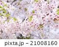 桜(ふんわり ソメイヨシノ) 21008160