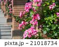 バラ 花 ピンクの写真 21018734
