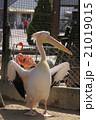 動物 久留米市鳥類センター モモイロペリカンの写真 21019015