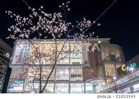 埼玉県 川口駅前キュポラ広場の安行桜 21033343