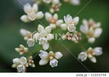 自然 植物 ツルソバ、沖縄ではよく目にする道ばたの花。近づいてみるとタデ科らしい花が美しい 21033748