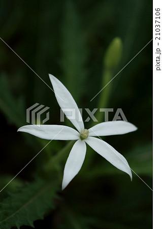 自然 植物 ホシアザミ、清楚で美しい花ですが、全草強毒で草の汁が目に入ると失明の危険もあるそうです② 21037106