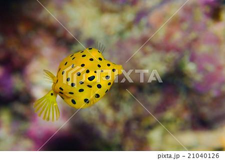 ミナミハコフグの幼魚 21040126