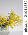 ミモザ 花 銀葉アカシアの写真 21041869